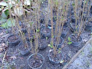PRIVET HEDGE PLANTS 2-3 ft