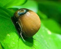 11 x nerite snails