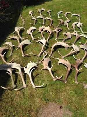 Large collection of cast Fallow and Sika Deer Antlers in various sizes.