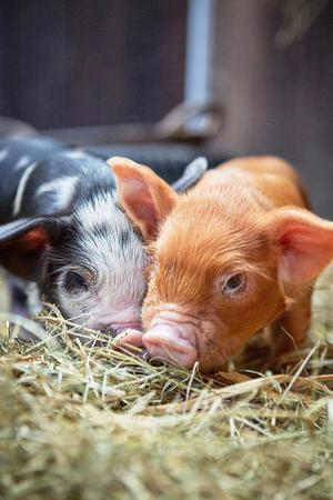 Beautiful Kune Kune Piglets For Sale