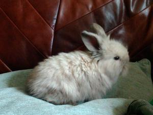 Mini lop x lion head baby boy rabbit