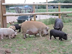 Two Kune Kune sows For Sale