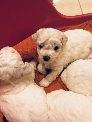 Beautiful bichon frise puppies for sale
