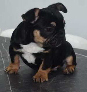 Black and Tan French Bulldog MALE