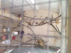 male & female baby zebra finches various colours all this year birds.