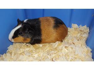 2 Baby Female Guinea Pigs in Morpeth