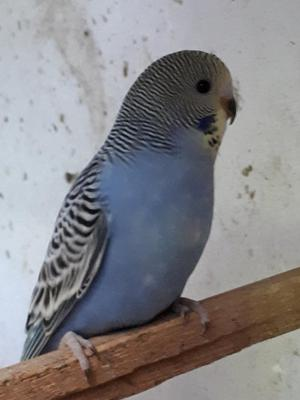 Baby budgies for sale in llanelli   Posot Class