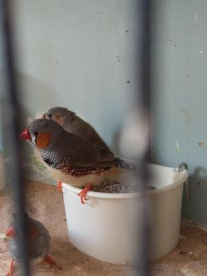 Zebra finches all colours £3.50 each or 5 for £