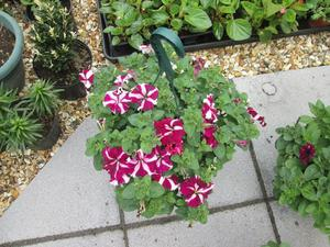 hanging baskets with flowers for sale