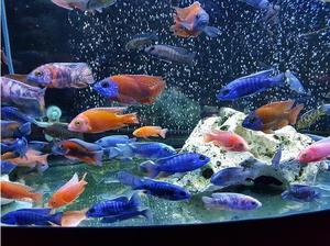 peacock cichlids and haps in Leicester