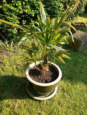 ESTABLISHED HARDY PALM TREE IN GLAZED POT WITH MATCHING TRAY