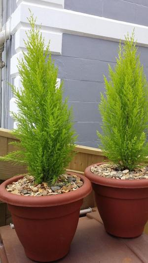 Large Golden Conifer in 30 cm planter