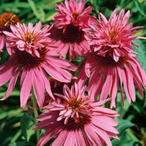 garden perennial plants unusual variety's echinacea etc