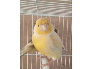 Canary's £25 each, Love birds and other birds for sale. in