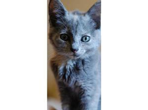 Beautiful blue and cream kitten in Willenhall