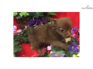chihuahua puppies for sale in Camden