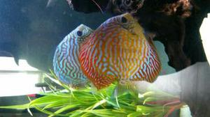 wantung discus fish