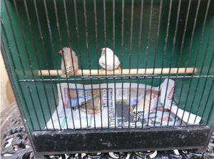 Zebra Finches, Various Colours, Prices. in Wallasey