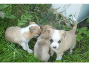4chihuahua puppies for sale 2 boys 2 girls in Llanelli