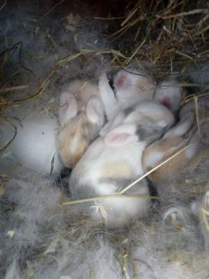 Baby rabbits. Mini lop/ lionhead.. multi coloured. Ready in 6weeks. Mum and dad can be seen.
