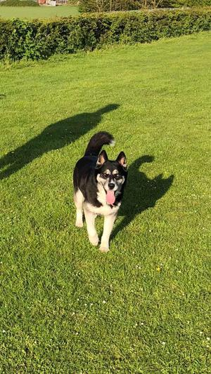 Beautiful family 4 year old female husky / German shepherd