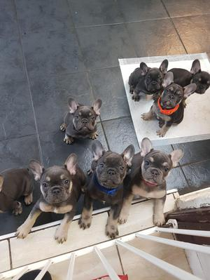 Blue and tan french bulldogs for sale