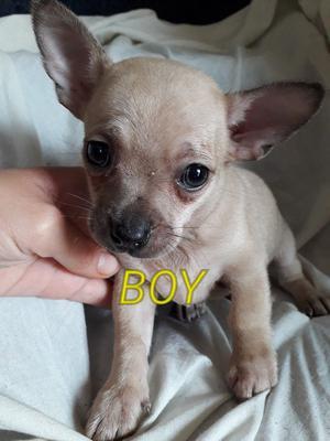 Full pedigree chihuahua puppies