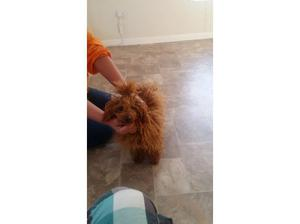 Kc deep red toy poodle in Walsall
