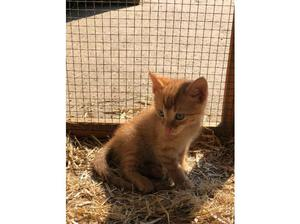 Beautiful Teacup Ginger Kitten for sale in Tadley