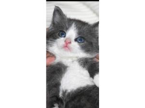 Blue and white kitten in Willenhall