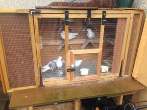 Fancy pigeons for sale in Bristol