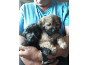 For sale 2 very beautiful girls chihuahua x toy poodle in