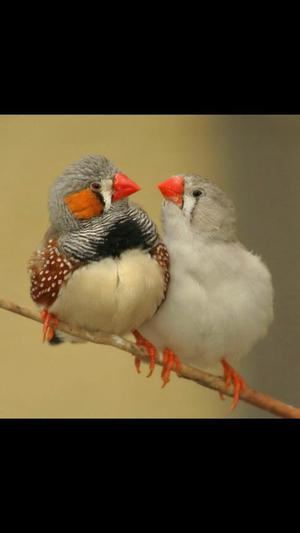 ZEBRA FINCHES MIXED COLOURS