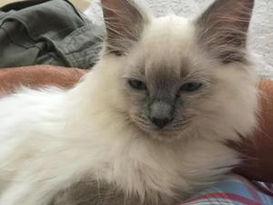 Beautiful 'Rag Doll' Kitten For Sale