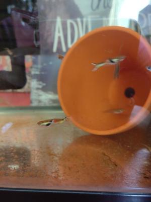 Mixed colour Endler's lifebearer/ guppy