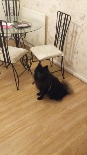 Black pom 1 year old friendly and loving. Needs a loving home. Great with kids. 300 pounds