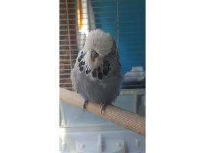 Exhabition budgies for sale in Bradford