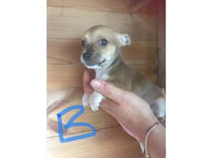 JACK RUSSELL X CHIHUAHUA in Stourbridge