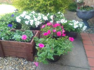 Flowers tubs plants hanging baskets wymondham