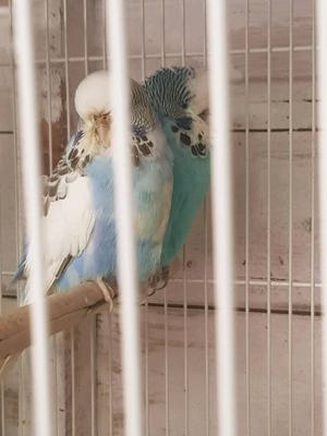 For sale 3 pairs of budgies