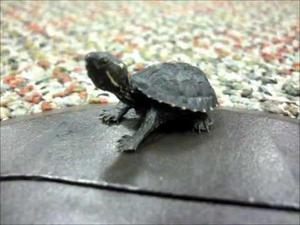 black musk turtle for sale