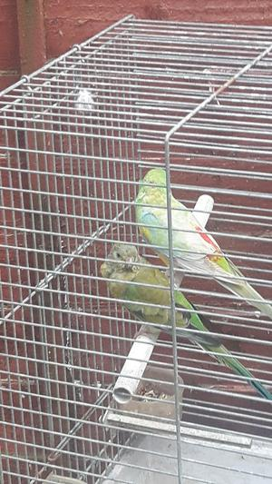 Pair of 2 year old red rumps for sale 70