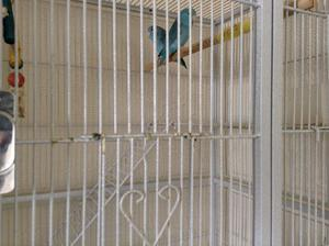 Pair of parrotlets with medium size cage