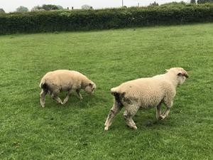 Dorset Horn lambs