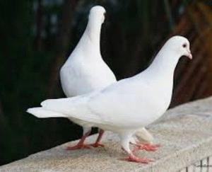 Pigeons for sale £15 each or £25 for two