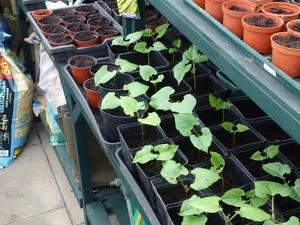 Runner bean plants - Burgess Hill