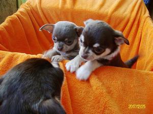 Chihuahua puppies smooth coat