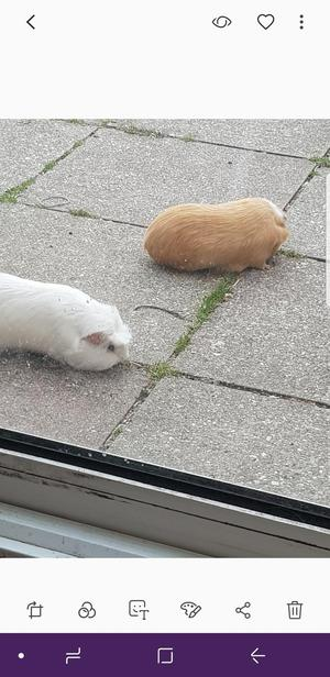 2 male guineapigs, must stay together