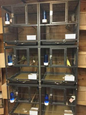 Wanted 2 female parrotlets