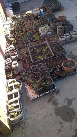 30p, Potted Vegetable/Fruit Plants